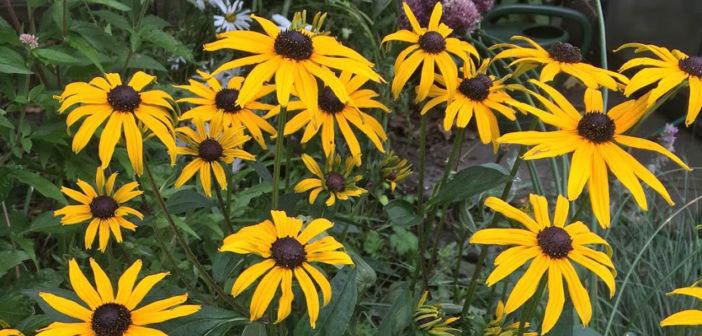 Gardening: Daisies - November 2017 - Issue 269